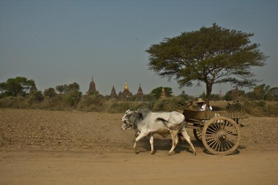 Farmer amongst Bagan Temples, Burma
